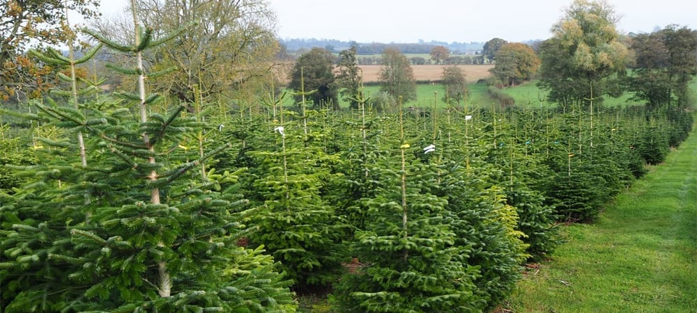 Where To Buy A Real Christmas Tree In Herefordshire