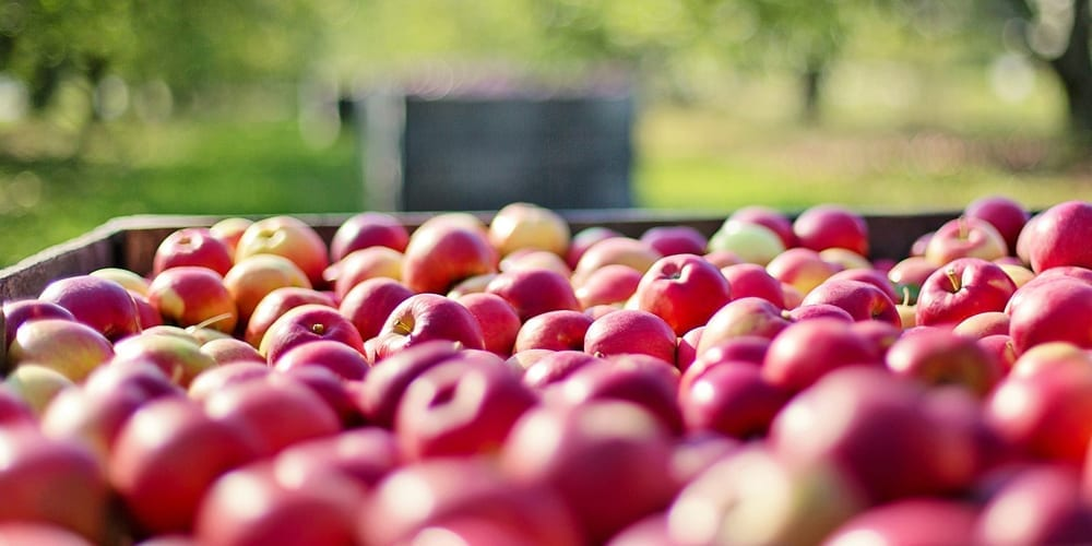 October Apple Harvest