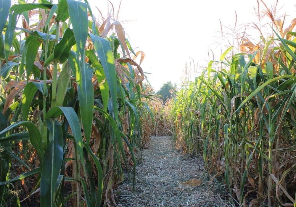 Churchfields Farm Maize Maze Droitwich Spa