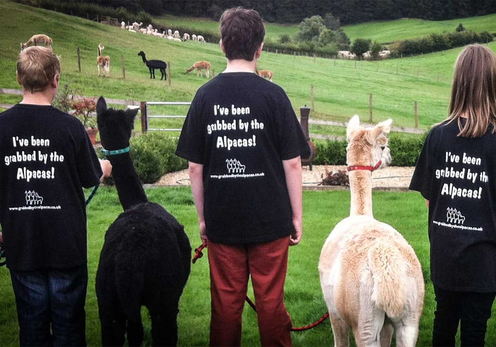 Grabbed By The Alpacas